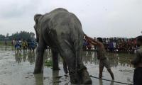 Wild elephant tranquilised yet again